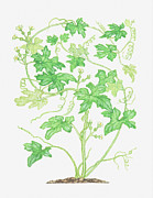 Color Bending Prints - Illustration Of Bryonia Dioica (white Bryony), Climbing Vine Print by Barbara Walker