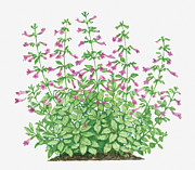 Deep Pink Prints - Illustration Of Calamintha Grandiflora (large-flowered Calamint) Bearing Deep Pink Tubular Flowers On Tall Stems Print by Barbara Walker