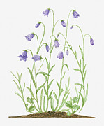 Thin Digital Art Posters - Illustration Of Campanula Rotundifolia (harebell) Bearing Violet-blue Bell-shaped Flowers On Long, Thin Stems Poster by Joanne Cowne