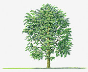 Durian Prints - Illustration Of Durio Zibethinus (durian) Evergreen Tree Print by Sue Oldfield