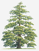 Tree Leaf Posters - Illustration Of Evergreen Cedrus Deodara (deodar Cedar, Himalayan Cedar Tree Poster by Sue Oldfield