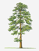 Tree Leaf Framed Prints - Illustration Of Evergreen Pinus Ponderosa (ponderosa Pine) Tree Framed Print by Sue Oldfield