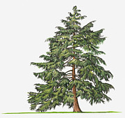 Tree Leaf Digital Art Framed Prints - Illustration Of Evergreen Tsuga Canadensis (eastern Hemlock, Canadian Hemlock) Tree Framed Print by Sue Oldfield