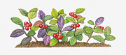 Color Purple Digital Art Framed Prints - Illustration Of Gaultheria Procumbens (wintergreen) With Red Fruit And Green And Purple Leaves Framed Print by Matthew Ward