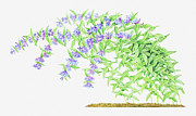 Color Bending Prints - Illustration Of Gentiana Asclepiadea (willow Gentian), Purple Flowers On Long, Bending Stems Print by Helen Senior