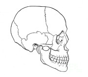 Illustration Of Human Skull Print by Science Source