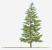 Tree Leaf Digital Art Posters - Illustration Of Large Evergreen Tsuga Heterophylla (western Hemlock) Tree Poster by Sue Oldfield