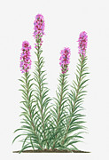 Deep Pink Prints - Illustration Of Liatris Spicata (prairie Gay Feather) Bearing Spikes Of Deep Pink Flowers On Tall Stems With Green Leaves Print by Valerie Price