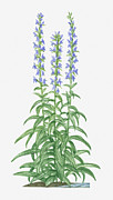 Color Purple Digital Art Framed Prints - Illustration Of Lobelia Siphilitica (great Blue Lobelia) Bearing Spikes Of Purple Flowers On Tall Stems With Green Leaves Below Framed Print by Valerie Price