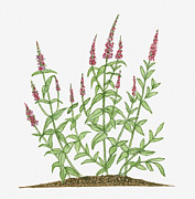 Color Purple Framed Prints - Illustration Of Lythrum Salicaria (purple Loosestrife) Bearing Reddish-purple Leaves On Long Stems With Green Lanceolate Leaves Below Framed Print by Joanne Cowne