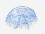 Sea Moon Full Moon Framed Prints - Illustration Of Moon Jellyfish (aurelia Aurita) Framed Print by Dorling Kindersley