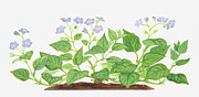 Color Purple Digital Art Framed Prints - Illustration Of Omphalodes Verna (blue-eyed Mary), Leaves And Purple Flowers Framed Print by Dorling Kindersley