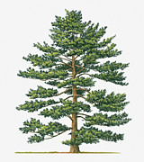 White Pine Posters - Illustration Of Pinus Parviflora (japanese White Pine) Evergreen Tree Poster by Sue Oldfield