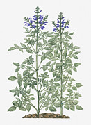 Color Purple Framed Prints - Illustration Of Salvia Miltiorrhiza (red Sage) With Purple Flowers On Tall Stems Framed Print by Evelyn Binns
