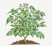Color Purple Posters - Illustration Of Solanum Tuberosum (potato) Bearing Purple Flowers With Yellow Stamen And Green Leaves Poster by Dorling Kindersley