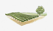 Agriculture Digital Art - Illustration Of Vineyard At Saint-emilion, Gironde, France by Dorling Kindersley