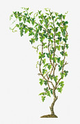 White Grape Prints - Illustration Of Vitis Vinifera (common Grape Vine) Bearing Bunches Of Ripe Green Fruit Print by Dorling Kindersley