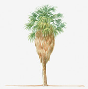 Tree Leaf Digital Art Posters - Illustration Of Washingtonia Filifera (california Fan Palm) Bearing Leaf Fronds Atop Brown Skirt Of Dead Fronds Poster by Dorling Kindersley