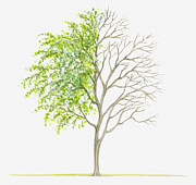 Tree Leaf Posters - Illustration Showing Shape Of Deciduous Caranga Arborescens (siberian Peashrub) Tree With Green Summer Foliage And Bare Winter Branches Poster by Dorling Kindersley