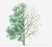 Tree Leaf Posters - Illustration Showing Shape Of Deciduous Fraxinus Pallisiae (pallis Ash) Tree With Green Summer Foliage And Bare Winter Branches Poster by Dorling Kindersley