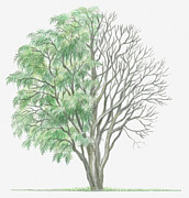 Tree Leaf Posters - Illustration Showing Shape Of Deciduous Jacaranda Mimosifolia (jaracanda) Tree With Green Summer Foliage And Bare Winter Branches Poster by Dorling Kindersley