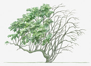 Tree Leaf Posters - Illustration Showing Shape Of Deciduous Sambucus Nigra (elder) Tree With Green Summer Foliage And Bare Winter Branches Poster by Dorling Kindersley