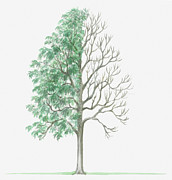 Tree Leaf Posters - Illustration Showing Shape Of Deciduous Sorbus Hybrida (swedish Service Tree) With Green Summer Foliage And Bare Winter Branches Poster by Dorling Kindersley