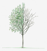 Tree Leaf Posters - Illustration Showing Shape Of Deciduous Sorbus Teodorii Tree With Green Summer Foliage And Bare Winter Branches Poster by Dorling Kindersley