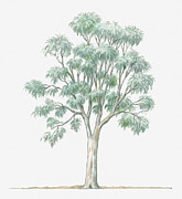 Eucalyptus Digital Art - Illustration Showing Shape Of Eucalyptus Globulus (blue Gum) Tree Bearing Green Foliage by Dorling Kindersley