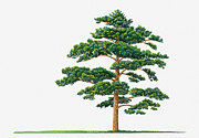 Tree Leaf Posters - Illustration Showing Shape Of Pinus Densiflora (japanese Red Pine) Tree Bearing Green Foliage Poster by Dorling Kindersley