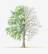 Tree Leaf Posters - Illustration Showing Shape Of Populus Deltoides (cottonwood) Tree With Green Summer Foliage And Bare Winter Branches Poster by Dorling Kindersley