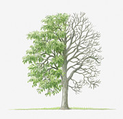 Tree Leaf Posters - Illustration Showing Shape Of Pyrus Amygdaliformis (almond-leaved Pear) Tree With Green Summer Foliage And Bare Winter Branches Poster by Dorling Kindersley