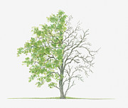 Tree Leaf Posters - Illustration Showing Shape Of Pyrus Cordata (plymouth Pear) Tree With Green Summer Foliage And Bare Winter Branches Poster by Dorling Kindersley