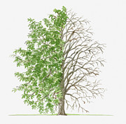 Tree Leaf Posters - Illustration Showing Shape Of Pyrus Nivalis (snow Pear) Tree With Green Summer Foliage And Bare Winter Branches Poster by Dorling Kindersley