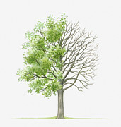 Tree Leaf Posters - Illustration Showing Shape Of Quercus Faginea (portuguese Oak) Tree With Green Summer Foliage And Bare Winter Branches Poster by Dorling Kindersley