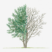 Tree Leaf Posters - Illustration Showing Shape Of Salix Caprea (goat Willow) Tree With Green Summer Foliage And Bare Winter Branches Poster by Dorling Kindersley