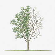 Tree Leaf Framed Prints - Illustration Showing Shape Of Sorbus Rupicola (rock Whitebeam) Tree With Green Summer Foliage And Bare Winter Branches Framed Print by Dorling Kindersley