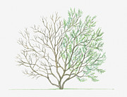 Tree Leaf Posters - Illustration Showing Shape Of Tamarix Parviflora (smallflower Tamarisk) Tree With Green Summer Foliage And Bare Winter Branches Poster by Dorling Kindersley