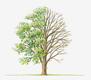 Tree Leaf Posters - Illustration Showing Shape Of Ulmus Glabra (wych Elm) Tree With Green Summer Foliage And Bare Winter Branches Poster by Dorling Kindersley