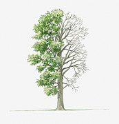 Tree Leaf Posters - Illustration Showing Shape Of Ulmus Laevis (white Elm) Tree With Green Summer Foliage And Bare Winter Branches Poster by Dorling Kindersley