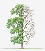 Tree Leaf Posters - Illustration Showing Shape Of Ulmus Procera (english Elm) Tree With Green Summer Foliage And Bare Winter Branches Poster by Dorling Kindersley