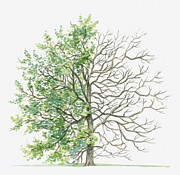 Tree Leaf Posters - Illustration Showing Shape Of Zelkova Abelicea (cretan Zelkova) Tree With Green Summer Foliage And Bare Winter Branches Poster by Dorling Kindersley