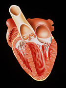 Heart Healthy Posters - Illustration Showing The Heart In Cross-section Poster by David Gifford