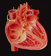 Node Framed Prints - Illustration Showing The Nerves Of The Human Heart Framed Print by David Gifford