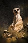 Meerkat Photos - Im a Little Lazy by Chad Davis