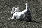 Westie Terrier Digital Art - Im listening by Jon and Chris Zombek