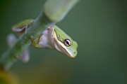 Tiny Tree Frog Prints - Im Looking At You Print by Kathy Clark