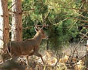 Whitetail Deer Photo Framed Prints - Im Outa Here Framed Print by Thomas Young