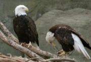 Eagle Photos - Im Sorry by Michael Peychich