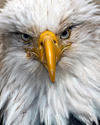 Alaskan Bald Eagle Acrylic Prints - Im Watching You Acrylic Print by Jim Chamberlain